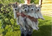 4 прекрасных Сибирский хаски щенки для принятия